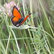 02 Balkan Copper Butterfly Art Print