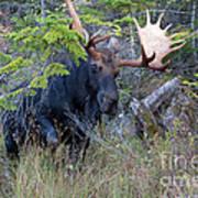 0339 Bull Moose 3 Art Print