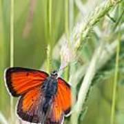 07 Balkan Copper Butterfly Art Print