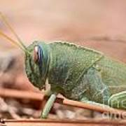 08 Egyptian Locust Grasshopper Art Print