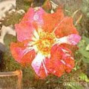 4th Of July Rose Art Print