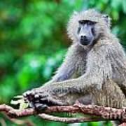 A Baboon In African Bush Art Print