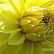 Golden Dahlia Art Print
