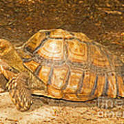 African Spur Thigh Tortoise Art Print