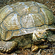 African Spurred Tortoise Art Print