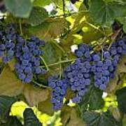 Agriculture - Concord Tablejuice Grapes Art Print by Gary Holscher