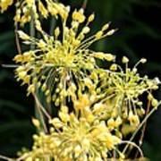 Allium Flavum Or Fireworks Allium Art Print