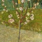 Almond Tree In Blossom Art Print
