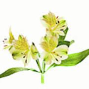 Alstroemeria Flowers Against White Art Print