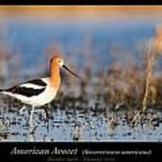 American Avocet Art Print