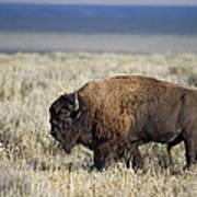 American Bison Art Print