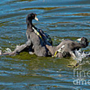 American Coots Fighting Art Print