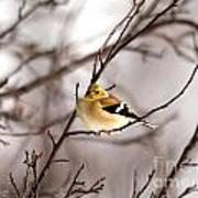 American Goldfinch In Winter Art Print