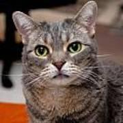 American Shorthair Cat Portrait Art Print