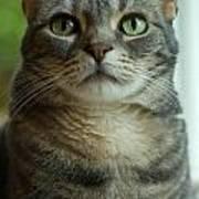 American Shorthair Cat Profile Art Print