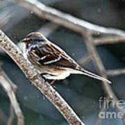 American Tree Sparrow  Art Print