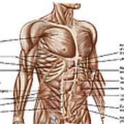 Anatomy Of Human Abdominal Muscles Art Print
