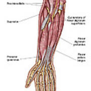 Anatomy Of Human Forearm Muscles, Deep Art Print