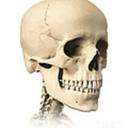 Anatomy Of Human Skull, Side View Art Print