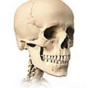 Anatomy Of Human Skull, Side View Print by Leonello Calvetti