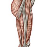 Anatomy Of Human Thigh Muscles Art Print