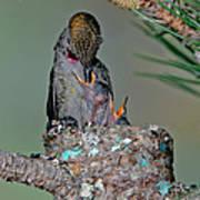 Annas Hummingbird Feeding Young Art Print