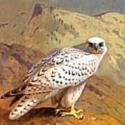 Greenland Falcon Art Print