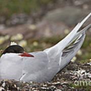 Arctic Tern In Its Nest Art Print