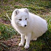 Arctic White Fox Art Print