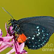 Atala Butterfly Art Print