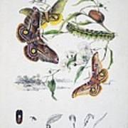 Australian Butterflies Art Print