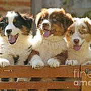 Australian Sheepdog Puppies Art Print