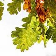 Autumn Oak Leaves Art Print