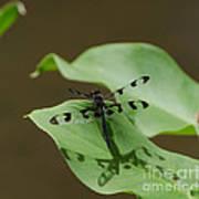 Banded Pennant Dragonfly Art Print