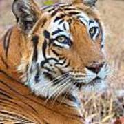 Bandhavgarh Tigeress Art Print