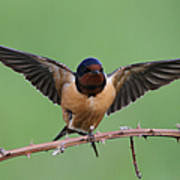 Barn Swallow Print by Angie Vogel