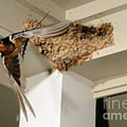 Barn Swallow Art Print by Scott Linstead