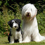 Bearded Collie And Puppy Art Print