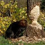 Beaver   Castor Canadensis Art Print