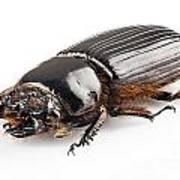 Beetle Aceraius Grandis Art Print