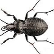Beetle Species Carabus Coriaceus Art Print