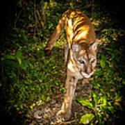 Belize Mountain Lion Art Print