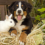 Bernese Mountain Puppy And Rabbit Art Print