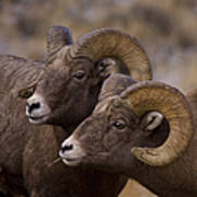 Big Horn Rams   #4664 Art Print