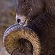 Big Horn Rams   #4732 Art Print