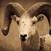 Big Horned Ram Art Print