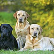 Black And Yellow Labrador Retrievers Art Print