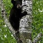 Black Bear  Ursus Americanus Art Print