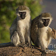 Black-faced Vervet Monkey Art Print