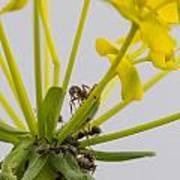 Black Garden Ant On Yellow Flower Art Print